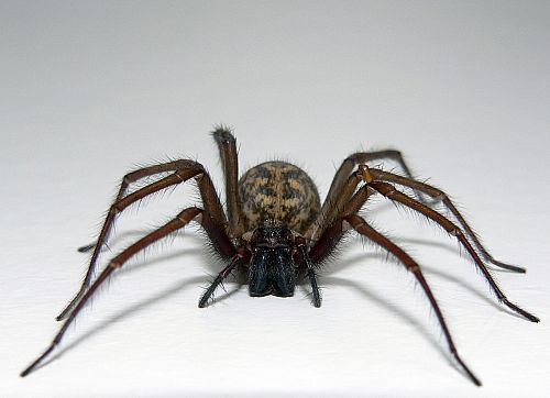 An image of a very large and very scary spider