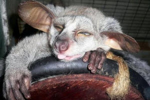 An image of the rare Greater Galago