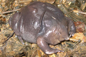An image of the rare purple frog