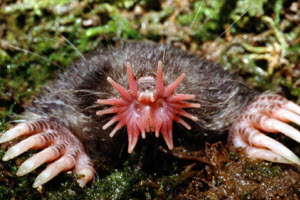 An image of the rare star nosed mole