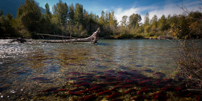 An image of Sockeye Salmon spawning on Adams River