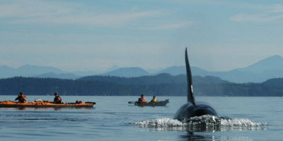 An image of an Orca swimming in the waters of Vancouver Island